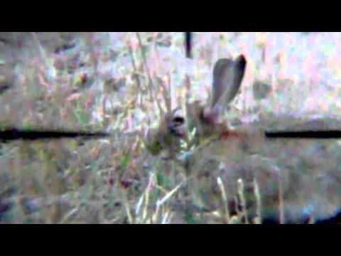 More Pellet Power & Performance: Roy on Rabbits
