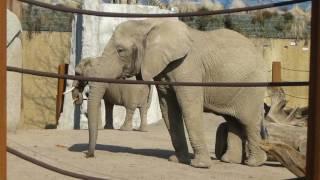 スイス発 バーゼル動物園のゾウ【スイス情報.com】