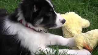 10 week old Border Collie puppy - Tricks and Training
