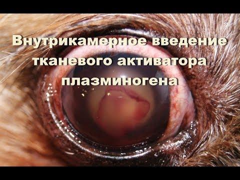 Парацентез передней камеры глаза у собаки. Внутрикамерное введение тканевого активатора плазминогена