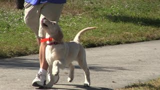 Golden Retrievers showing off their obedience training!