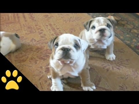 Wonderfully Cute Bulldog Mayhem Video