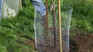 Planting a Magnolia tree