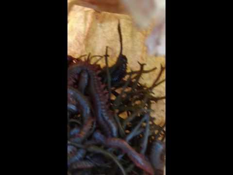 Kalabasa seed langis mula sa parasites sa mga bata