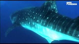 Nuestros Mares - Tiburón ballena