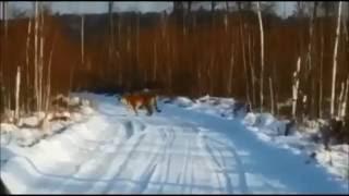 Уссурийский Тигр в Приморье под Анисимовкой гуляет по лесной дороге