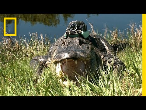 """""""Narcoleptic"""" Alligator & Other Gators """"Film"""" Their Day   National Geographic thumbnail"""