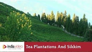 Tea Plantations and Sikkim