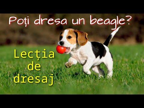 pierderea în greutate pentru beagles)
