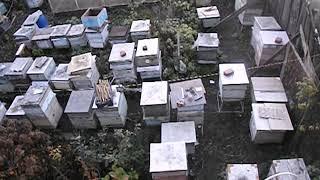 ошибки пчеловода  - смена породы пчел на пасеке