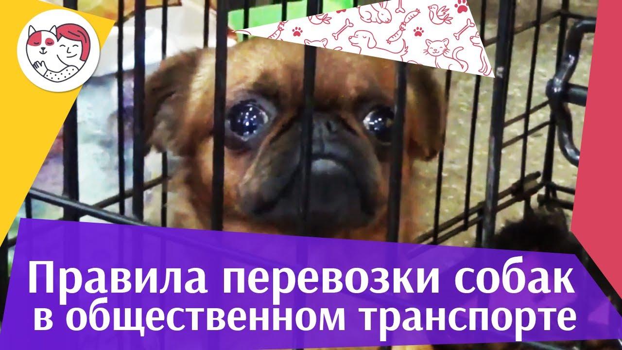 4 правила перевозки собак в общественном транспорте на ilikepet