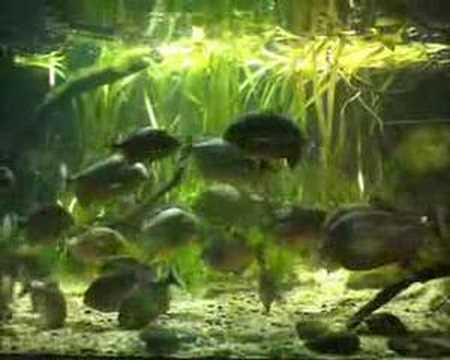How many red belly piranha in a 55 gal tank yahoo answers for Piranha fish tank