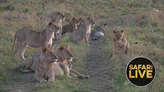 safariLIVE - Sunrise Safari - November 14, 2018