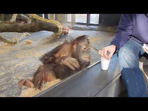 Helt magisk: Orangutangen elsker kopptrikset