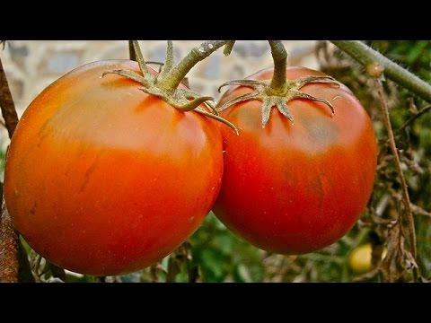 Tomaten düngen - 3 verschiedene Dünger im Test - Balkon Garten