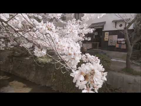 [Japan] Kyoto - Cherry Blossoms at Philosopher's Walk