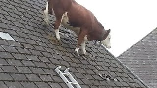 Download Video Cow Intelligence & ability. Smart cattle. MP3 3GP MP4