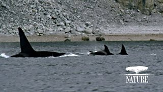 Killer Whales Attack Pod of Narwhal | Nature on PBS