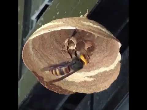 Шершень за три дня построил гнездо the hornet built a nest in three days