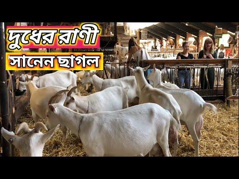 , title : 'দুধের রানী সানেন ছাগল | SAANEN Goat Information | Goat Haven | Sheikh Jalal
