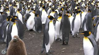 King Penguin Vocalizations -- Listen to the magical sounds of King Penguins