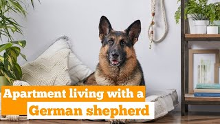 Can a German Shepherd Live in an apartment?(Detailed Tips).