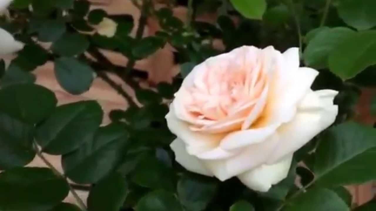 Rosier Artemis | Nostalgie (Fil Roses)