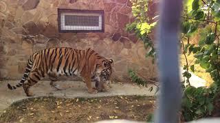 Тигрица Одри и ее маленький тигренок.  Тайган