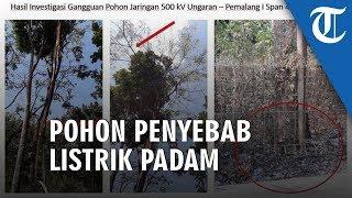 Pohon Sengon yang Dituduh Jadi Penyebab Listrik Setengah Pulau Jawa Padam
