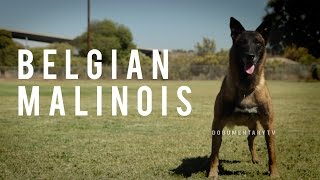BELGIAN MALINOIS: THE SHEPHERD WITH A PIT BULLS SPIRIT