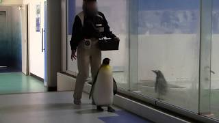 #2-9 April 2018 Kingpenguin at Adventure world, Wakayama, Japan