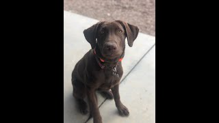 5 Month Old Labrador Retriever Gains Obedience, Confidence and Impulse Control