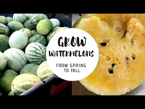 Grow Lots of Watermelons In a drought! 2019 🍉 Gardening