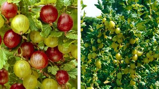 How to Grow Gooseberries: Easy Fruit Planting Guide