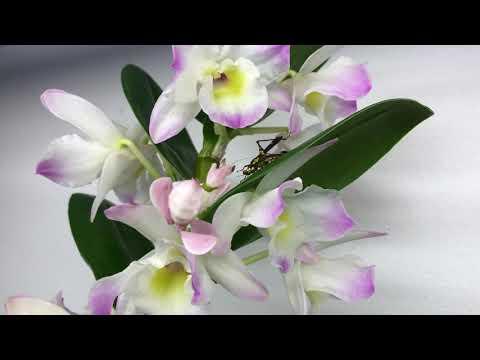 Орхидейный богомол - лучший мастер маскировки