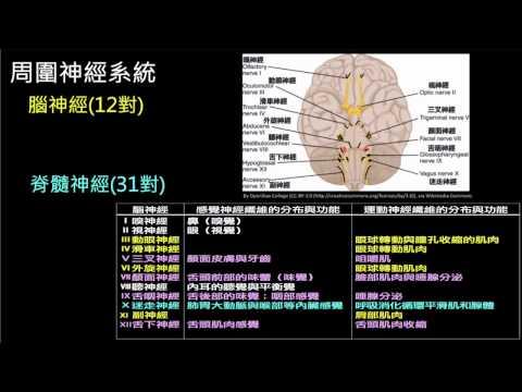 周圍神經系統─腦神經與脊髓神經 | 動物生理學 | 均一教育平臺