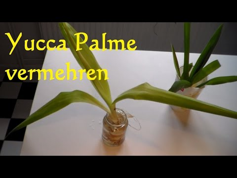 Yucca Palme vermehren - Yucca Palme schneiden - Ableger Steckling Yucca Palme