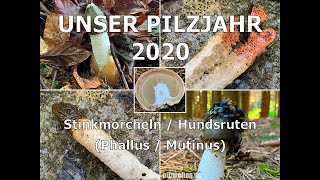 Stinkmorchel, Hexenei, Satyr, Phallus impudicus | Gemeine Hundsrute, Mutinus caninus
