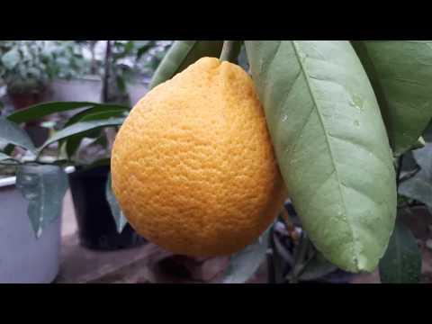 Грейпфрут Мелоголд