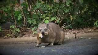 Urban Critters- Dassies