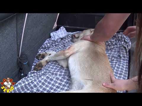 Repórter do Mato tentou Socorrer mais não deu tempo, o Cachorro Amarelinho atropelado na Curva do Tombo.