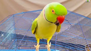 My So Talkative Parrot|Amazing Speaking Parrot Talking On Cage|Talking Parrot Speaking In Urdu/Hindi