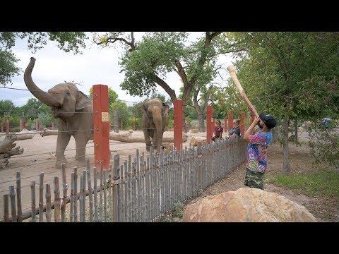 Elephants React to a Didgeridoo