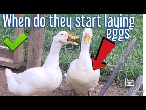 , title : 'when do ducks start laying eggs
