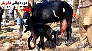 beetal goat milk - Video hài mới full hd hay nhất - ClipVL net