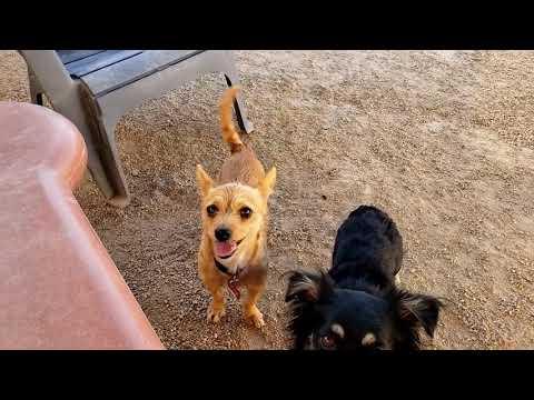 BLAIR, an adoptable Cairn Terrier & Chihuahua Mix in Phoenix, AZ