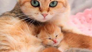 ✔️ British Shorthair Kittens 4 Days After Birth