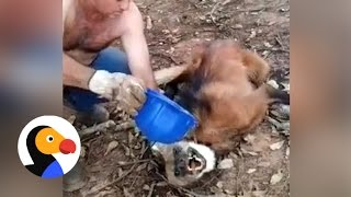 Maned Wolf Dying of Thirst Saved by Guys Who Give Him Water | The Dodo