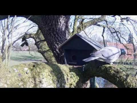 Treecreeper & Pigeon - 25.03.17