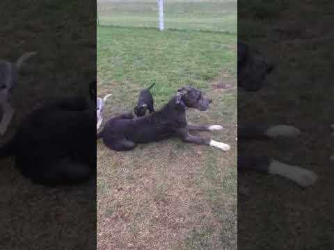 Jamaica her four female puppies